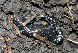 Blue-spotted salamander (Photo by Iron Chris/Wikimedia Commons)