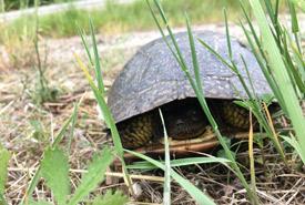 Blanding's turtle (Photo by Megan Quinn/NCC staff)