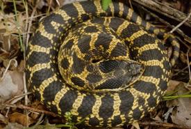 Eastern hognose snake (Photo by Mary Gartshore)