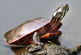 Eastern painted turtle (Photo by Greg Schechter)