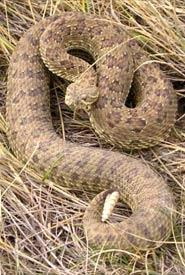 Female prairie rattlesnake (Photo by NCC)