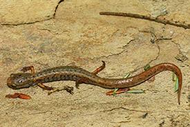 Salamandre à quatre orteils (Photo par ONFC)