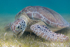 Green sea turtle (Photo by P. Lindgren)