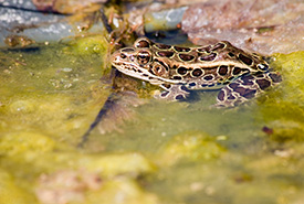 Leopard frog (Photo courtesy of Peter Kelly and rare Charitable Research Reserve)