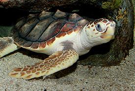 Loggerhead sea turtle (Photo by Brian Gratwicke)
