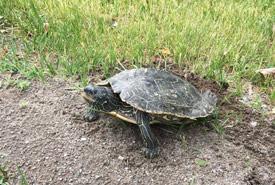 Map turtle nesting (Photo by Megan Quinn/NCC staff)
