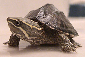 Musk turtle (Photo by Dawson)