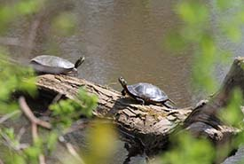 Painted Turtles at Sunset Valley (Photo by NCC)