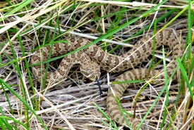 A prairie rattlesnake neonate - note the triangular shaped head and yellowish-green colouration.(Photo by Wonnita Andrus/NCC staff)