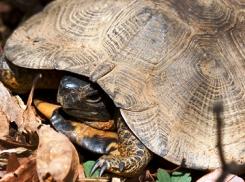 Retreating wood turtle (Photo by Bill Hubick)