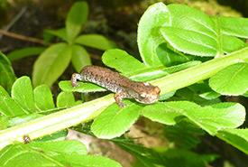 Four-Toed Salamander (Photo by Nicolas Wampach)