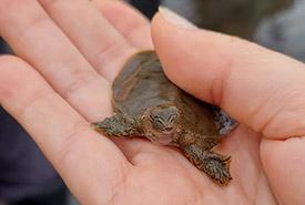 Bébé tortue-molle à épines, QC (Photo de CNC)