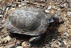Une tortue des bois, observée en forêt en Mauricie et dûment inscrite à Carapace.ca ! (Photo d'André Lortie)