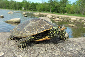 Map turtle (Photo by Zoo Ecomuseum)