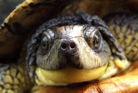 Blandings turtle (Photo by NCC)
