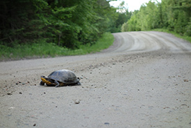 Blanding's turtle crossing the road (Photo by Sylvain Giguère)