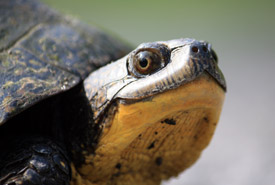 Blanding's turtle (Photo by Gabrielle Fortin)