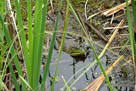 A bullfrog waiting quietly in a marsh. (Photo by NCC)