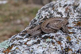 The desert nightsnake's elusiveness is part of its appeal. (Photo by Heather L. Bateman CC BY-NC)