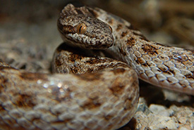 Desert nightsnake (Photo by W. Mason CC BY-NC)