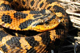 Eastern hog-nosed snake (Photo by Ryan M. Bolton)