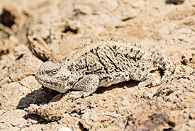 Greater short-horned lizard. (Photo by Leta Pezderic/NCC staff)