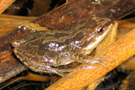Western chorus frog (Photo by Ryan Bolton)