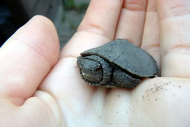 Hatchling map turtle (Photo by NCC)