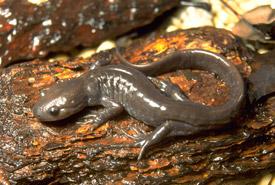 Jefferson salamander (Photo by Leo Kenney, Vernal Pool Association)
