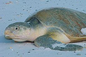 Kemp's Ridley sea turtle (Photo by USFWS)