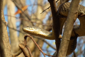Lake Erie watersnake (Photo by NCC)