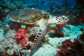 Loggerhead sea turtle (Photo by Anonymous/Public Domain)