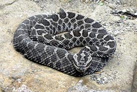 Massasauga rattlesnake (Photo by Tim Vickers)