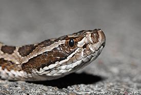 Massasauga rattlesnake (Photo by Aaron Goodwin)