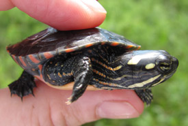 Midland painted turtle hatchling (Photo by NCC)