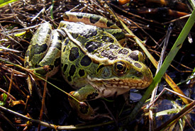 Northern leopard frog (Photo by Barb Houston)