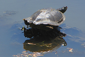Northern map turtle (Photo by D. Gordon and E. Robertson)