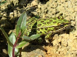 Northern leopard frog on the banks of the Lower Maitland River Valley, Ontario (Photo by NCC)