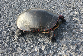 Painted turtle (Photo by NCC)