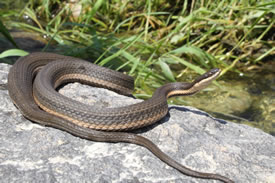 Queen snake found during 2013 survey, ON (Photo by Joe Crowley)