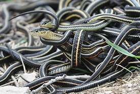 Red-sided garter snakes mating (Photo by Oregon State University/Wikimedia Commons)