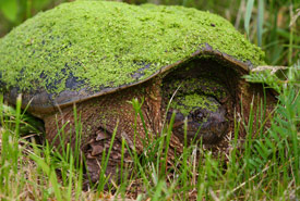 Snapping turtle in Kenauk, QC (Photo by Mike Dembeck)