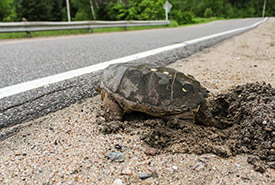 Snapping turtle crossing the road (Photo by Olivier Cameron-Trudel)