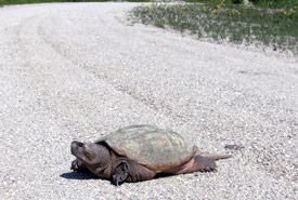 Snapping turtle crossing the road, ON (Photo by NCC)