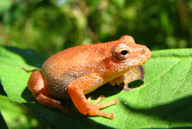 Spring peeper (Photo by Ryan M. Bolton)