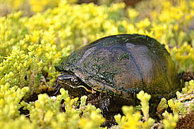 Stinkpot turtle (Photo by Ontley, Wikimedia Commons)