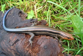The five-lined skink, Ontario's only lizard species (Photo by Ryan M. Bolton)