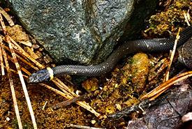 Ring-neck snake (photo by Daisy Magoo)