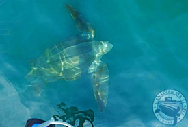 Propelling through the water on a relentless journey (Photo by Canadian Sea Turtle Network)