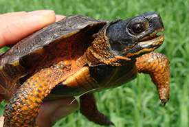 Wood turtle (Photo by USFWS)